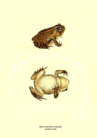 BUFO CLAMOSUS, Schneider - Southern Toad